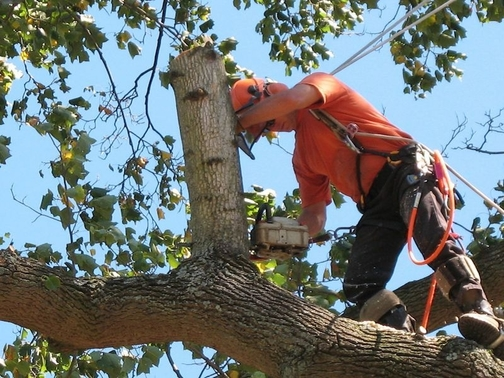 Picture of our employee in a tree cutting down dead branches on a large tree in Huntsville, AL